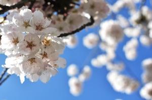 1400468_cherry_blossom